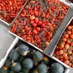 עגבניית שרי תמר